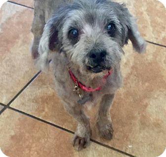 Chandler, AZ - Yorkie, Yorkshire Terrier/Poodle (Miniature) Mix. Meet chance, a dog for adoption. http://www.adoptapet.com/pet/17060281-chandler-arizona-yorkie-yorkshire-terrier-mix