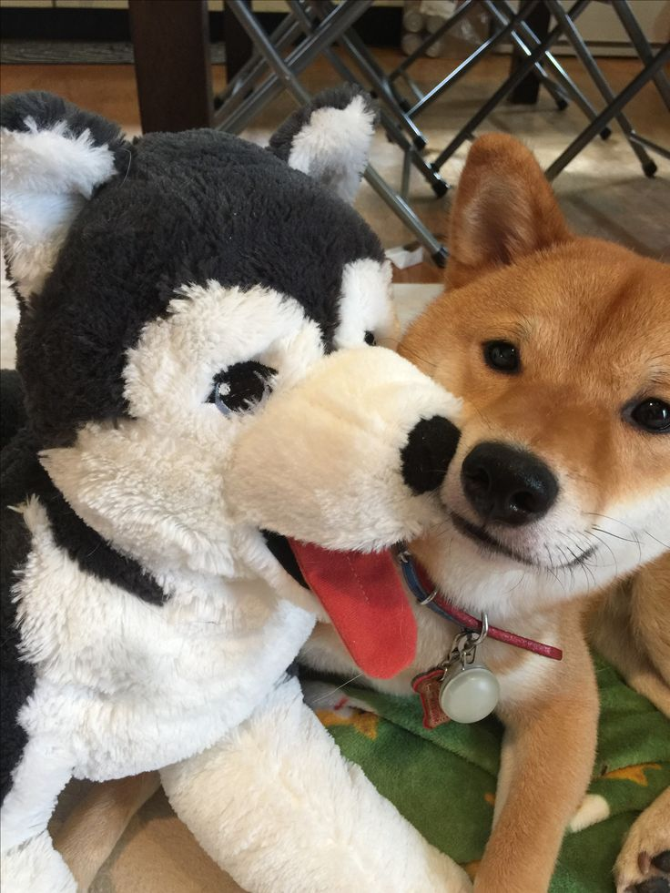 Best Cute Images On Pinterest Shiba Inu Pet Dogs And Puppies - Ryuji the shiba inus endless expressions will melt your heart