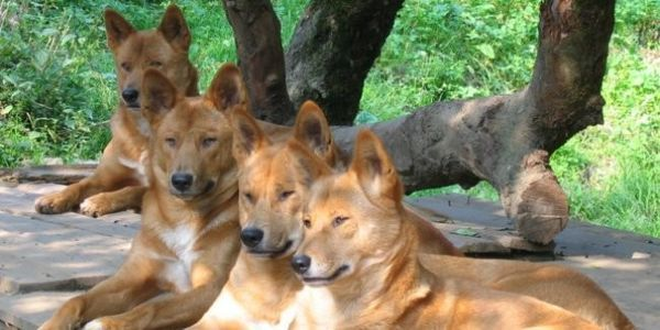 petition: Hinchinbrook Shire Council: Stop Using 'Time-Bombed' Dingoes to Kill…