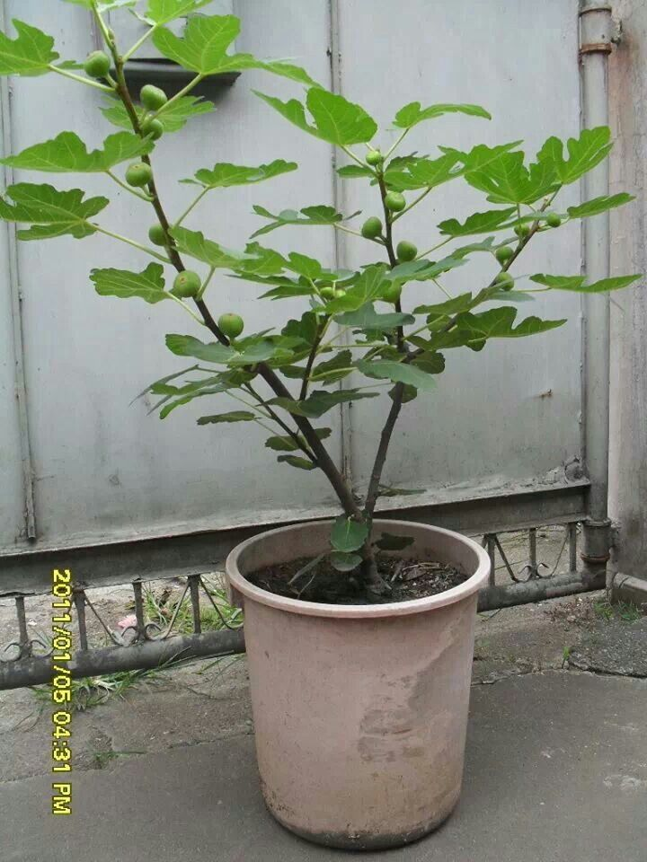 1000 images about fig trees on gardens vacation rentals and greenhouses