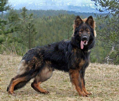 Black Sable German Shepherd   Photo: www.candlehillshepherds.com
