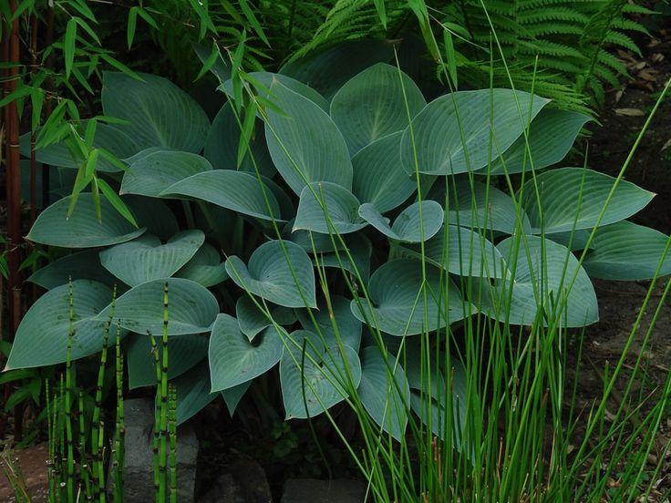 Hosta, prachtige schaduwplant