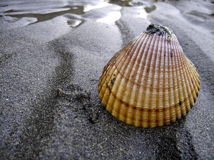 Shell on Sandbar at Pacific Ocean - Point Roberts, WA by Melissa Horn