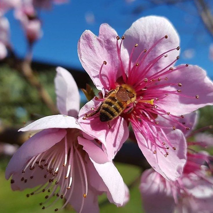 Spring is coming in Maremma a bee on a peach tree flower by @agricupido