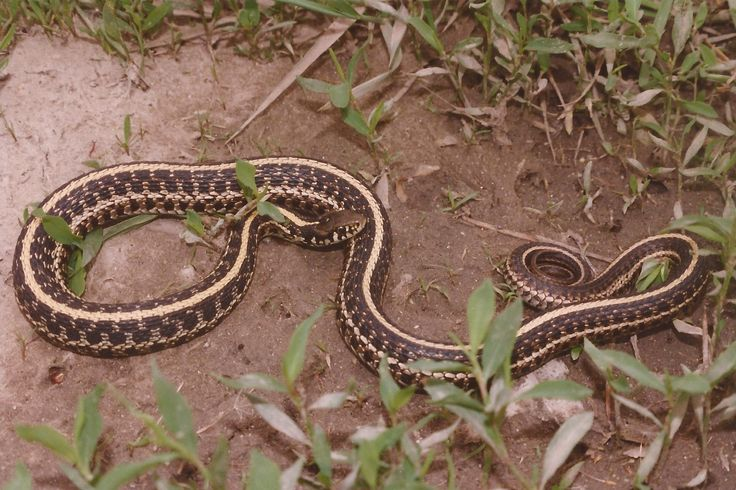 Lovely Garter Snake In Basement