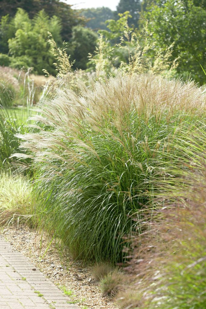78 images about grass they could be beautiful too on for Ornamental grass bed