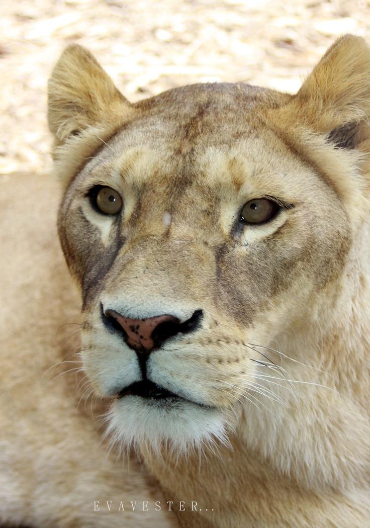 Lioness...