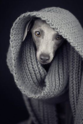 Italian Greyhound Photographer: Paul Croes