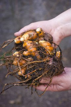 Aprenda aqui como cultivar cúrcuma, o açafrão da terra, em sua casa
