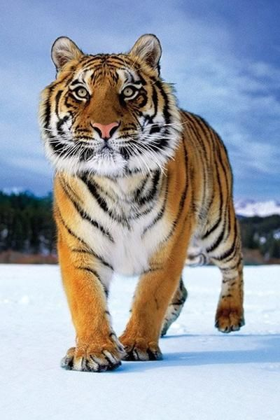 Tiger - Snow - Official Poster. Official Merchandise. Size: 61cm x 91.5cm. FREE SHIPPING