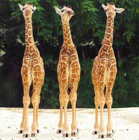 giraffes. perfect: Babies, Triplets, Best Friends, Baby Giraffes, Animal Photo, Favorite Animal, Baby Animal, Things, Adorable Animal