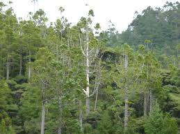 New Zealand native kauri
