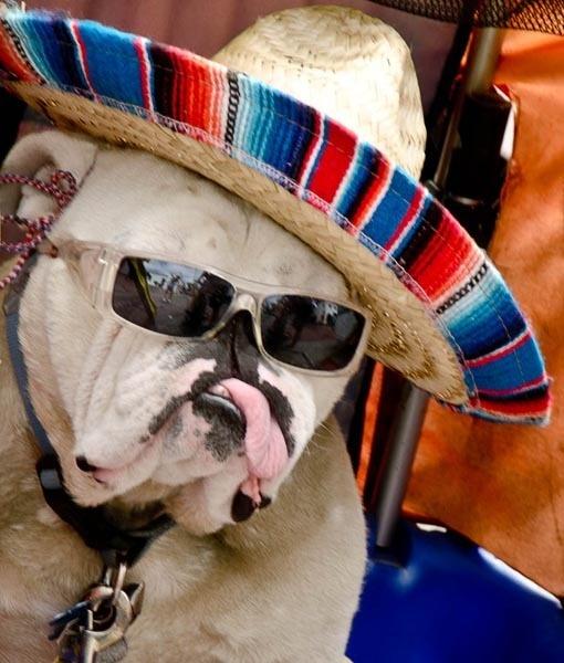 Happy Cinco de Mayo from Bob the Bulldog!