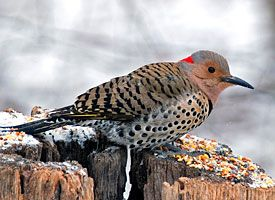 Northern Flicker - These guys show up whenever I disturb an ant nest in my raised beds.