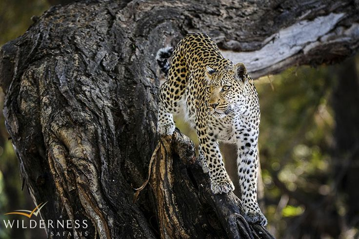 Little Mombo – The Mombo area offers some of the best leopard viewing around, and is home to the famous Legadema – star of 'Eye of the Leopard'. #Africa #Safari #Botswana