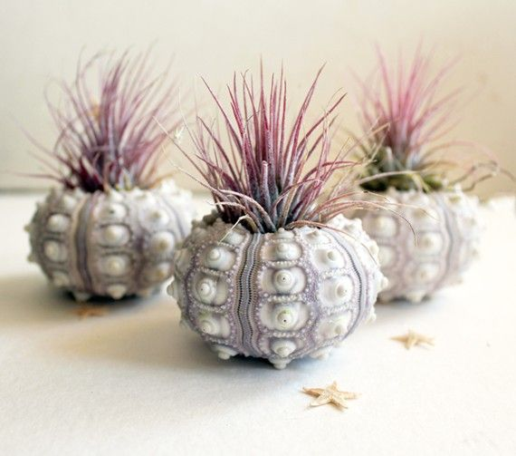 What's cuter than sea urchins and succulents combined?: Shells, Wedding Favors, Plants Urchins, Air Plants, Sea Urchins, Terrarium, Plants Holders, Pineapple Air, Airplants