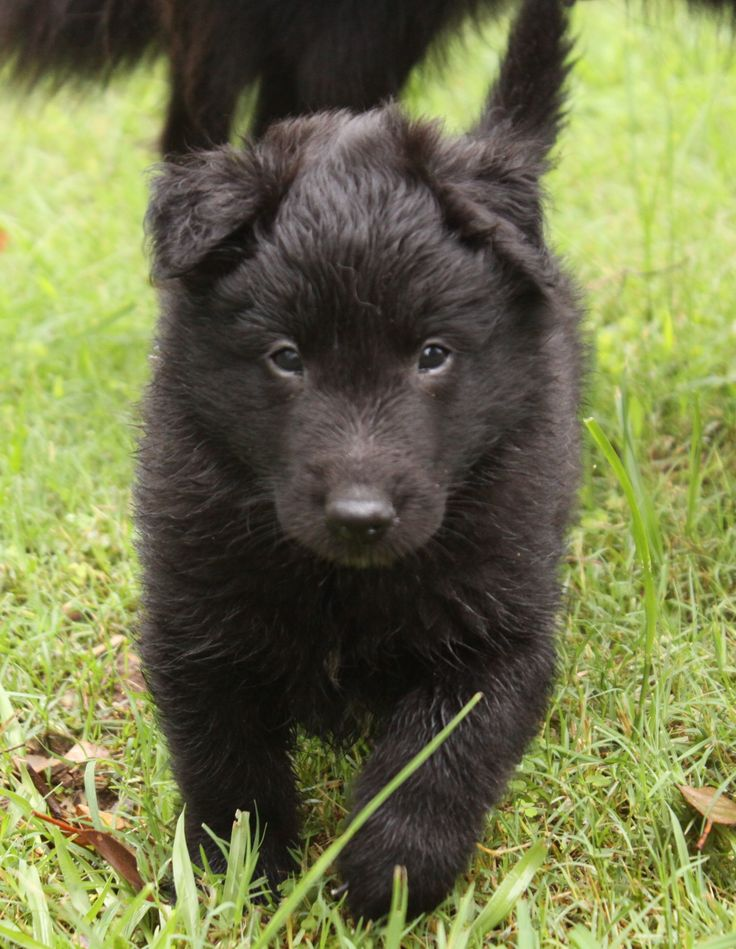 Pedigree Puppies Dog Catalogue Pastoral Belgian Shepherd Dog | Dog ...