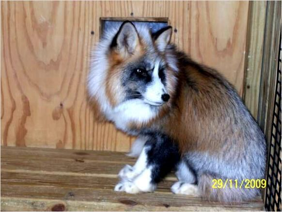Pet Foxes For Sale Fennec Fox For Sale Dubai City