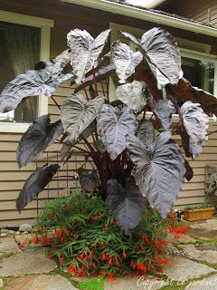Garden Adventures - for thumbs of all colors: The NEW Begonia boliviensis - hard to spell but easy to love.