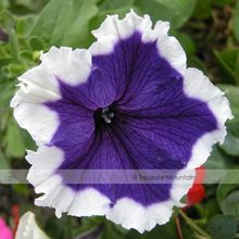 1 Professional Pack, 100 seeds / pack, 19 Types Petunia Hybrida For Your Choice 100% Real Varieties Beautiful Flowers Plant Seed(China (Mainland))