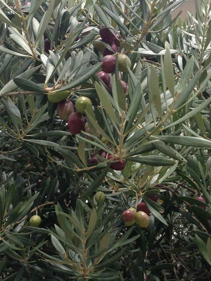 Olive Trees, Street plant.