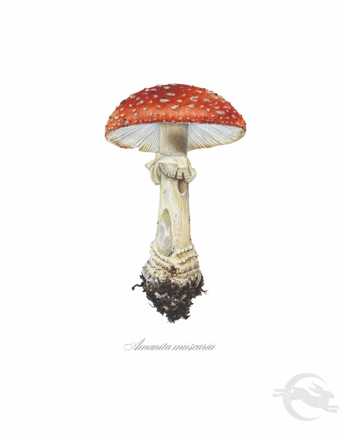 Young Amanita Muscaria watercolour painting by Amy Duncan