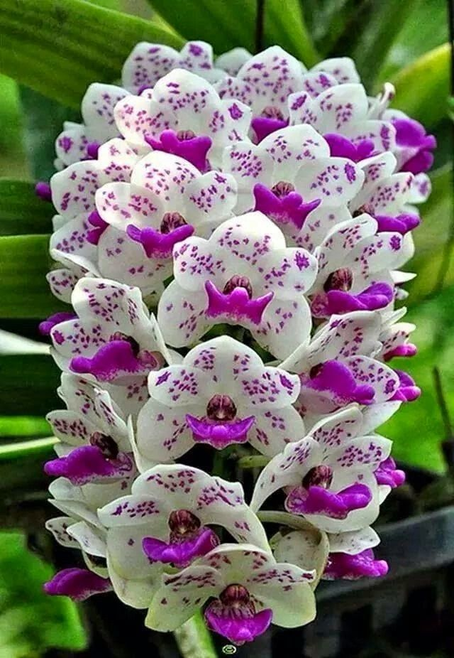 "Beautiful Orchid tower of purple and white blooms on stalks. RESEARCH #DdO:) - https://www.pinterest.com/DianaDeeOsborne/flowers-beyond-expected/ - FLOWERS BEYOND EXPECTED. Genus ORCHID is OLD, widespread, prolific, DIVERSE in colors, sizes, patterns. Grows naturally all over world-- a favorite plant among horticulturists. 25,000+ DOCUMENTED species of orchid--& scientists are finding more every day. Evidence of a Creator Designer God: Far more variety than ""Chance"" from a few cells would…"