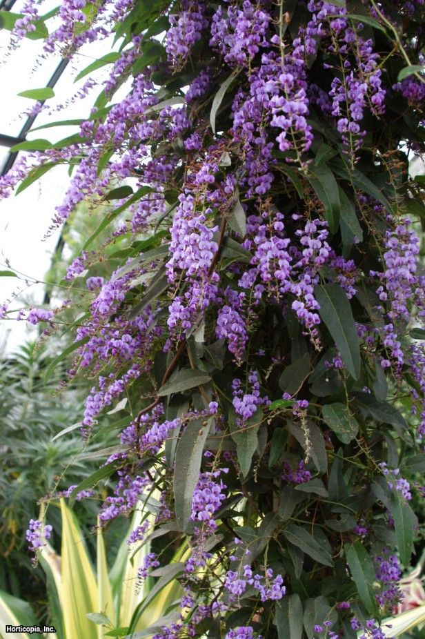 Vine Lilac (Hardenbergia violacea 'Happy Wanderer')...would look good with a trellis behind it...would 'fence' in the front yard without a lot of fencing material!