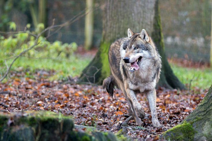 Aron, loup gris d'Europe au parc de sainte-croix par http://photographika.fr