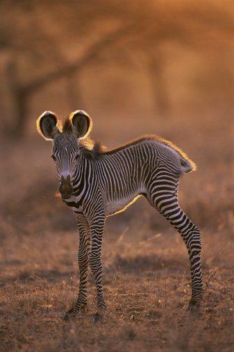 Grevys Zebra Foal At Dawn