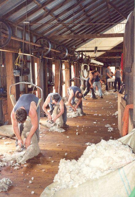 Sheep shering . Australia