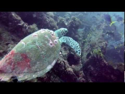 ▶ Scuba Diving SS Yongala Shipwreck with Glorious Sea Turtle - YouTube