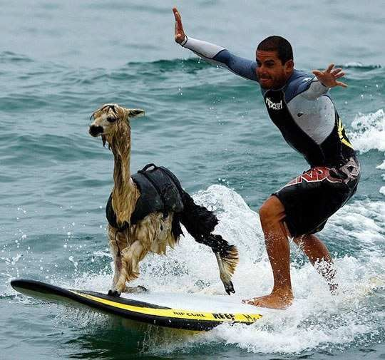 Near Lima, Peru instructor Domingo Pianezzi is teaching Pisco the Alpaca how to surf • photo/video: Reuters on The Telegraph