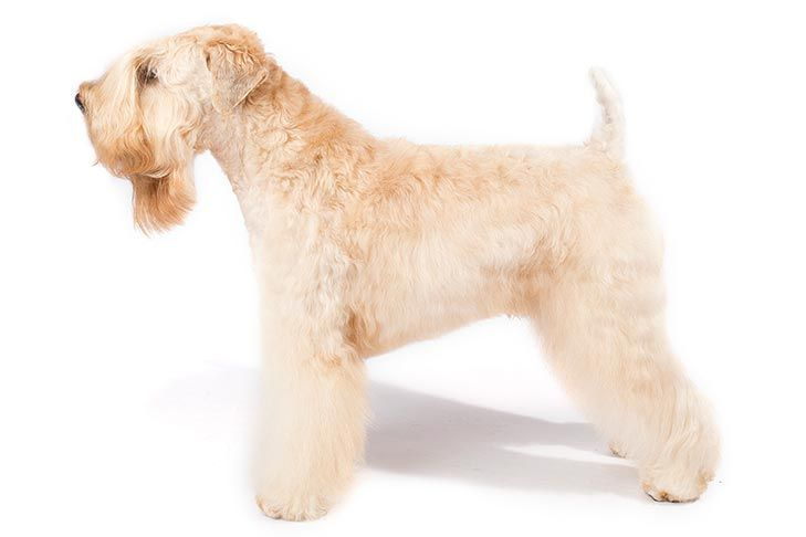 Soft Coated Wheaten Terrier Dog Breed Information In 2020 Soft Coated Wheaten Terrier Wheaten Terrier Terrier Dog Breeds