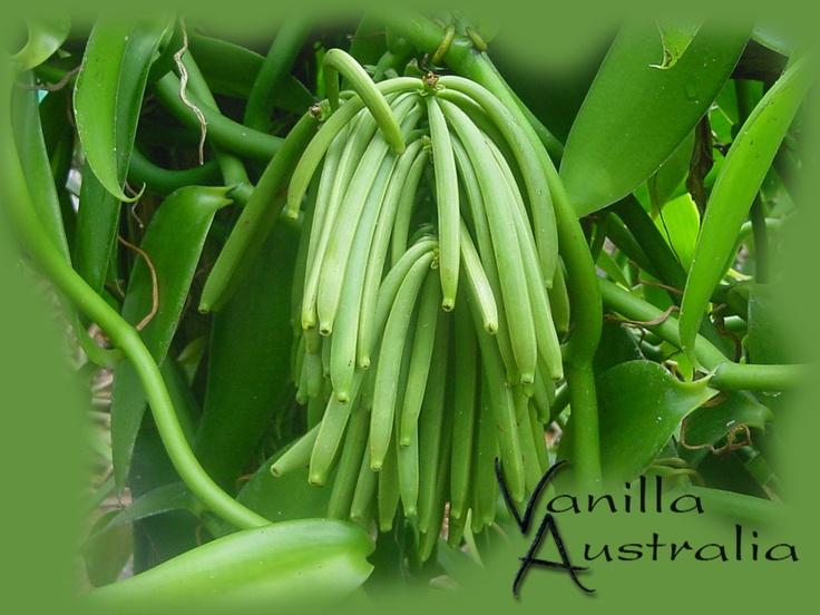 A bumper crop of Vanilla beans @Vanilla Australia's plantation.