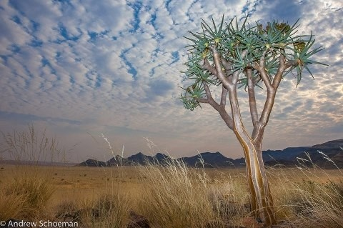 A quiver tree in Sossusvlei, #Namibia. By: Andrew Schoeman.