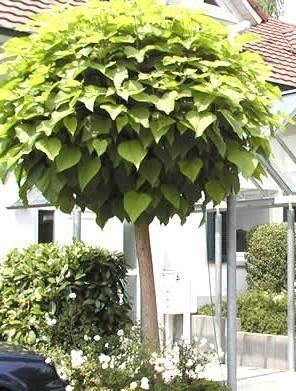 kogelvormige trompetboom
