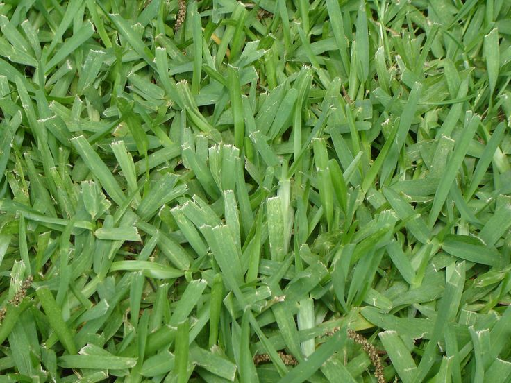 St. Augustine turfgrass is another popular choice in the Central Texas area. Lush and green! For a estimate on re-sodding your yard call today 830-515-0471