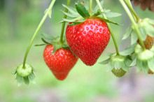 Grow low maintenance Strawberries all year long