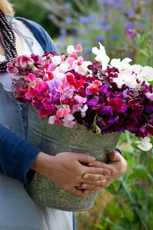 Highly Scented Sweet Pea Seed Collection