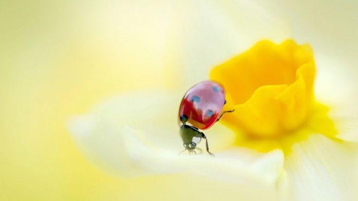Ladybird on a Yellow Daffodil Flower Wallpaper