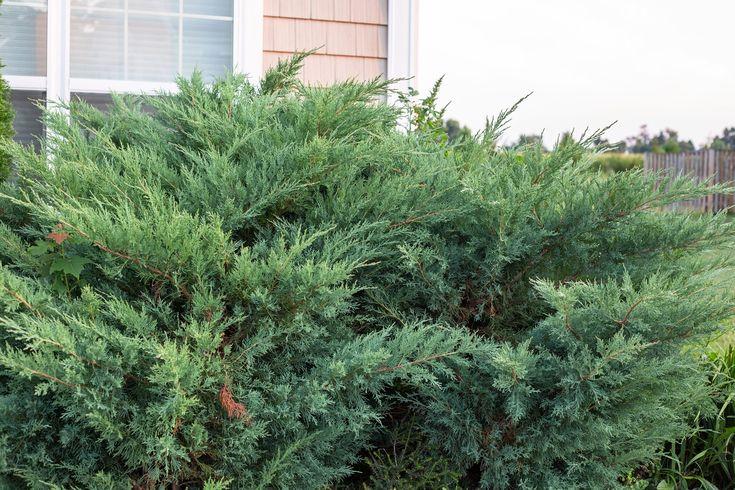 trim juniper shrubs
