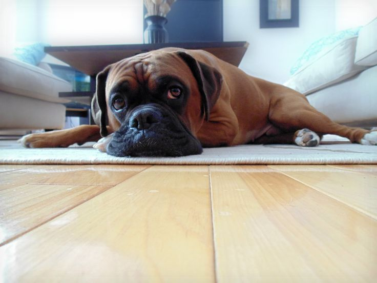 #Purebred #Boxer #Dog #Puppy #Brody #Cute #Male #Photography
