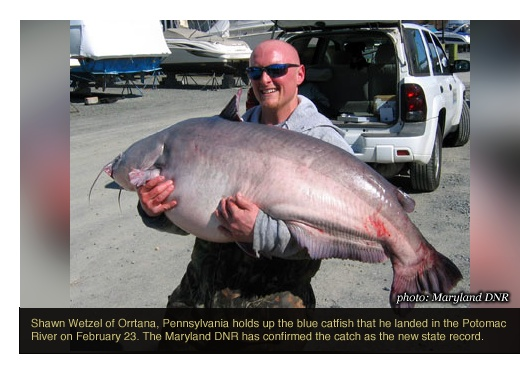 Omg- that things could eat you. Never going in the water again lol Mar 12: Maryland Announces a New State Record Blue Catfish