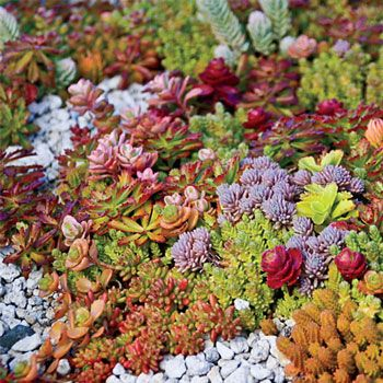 7 Sedum Ground Cover