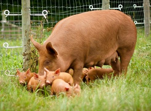 "Before I was born, my brothers had a pig named ""Hamlet"" who had piglets...they were a 4-H project that turned into pets!"