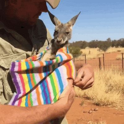 Sleepy Kangaroo Baby Has A Special Bedtime Ritual