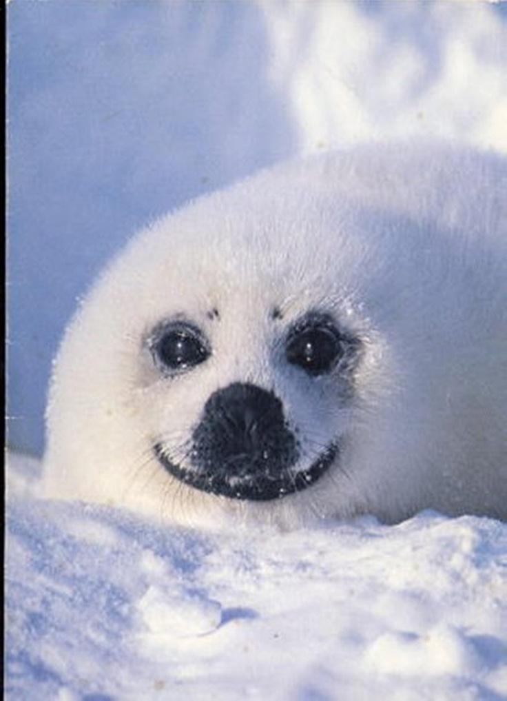 Baby Seal Pup, Smiling | Beautiful Creatures, 1 ...