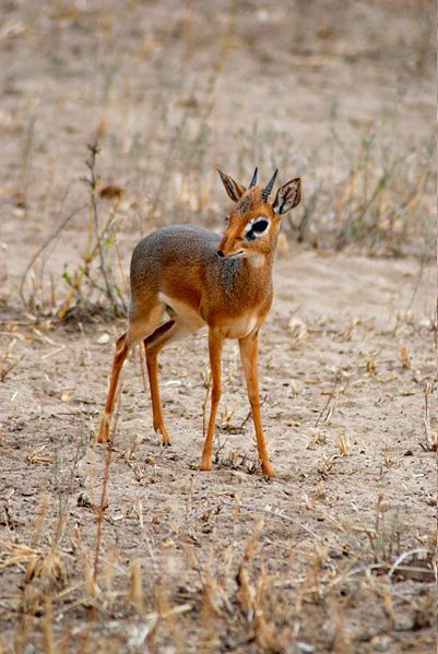 A dik-dik is a small antelope in the Genus Madoqua that lives in the bushlands of eastern and southern Africa. Dik-diks stand 30–40 cm (approx. 12–16 inches) at the shoulder.