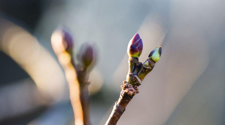 In den Knospen speichern Bäume und Sträucher ihre Energie für das Wachstum, mit Bedacht kannst du sie auch für deine Gesundheit nutzen.